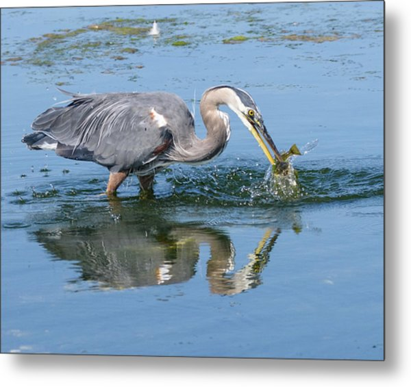 Great Blue Heron Catches A Fish Metal Print
