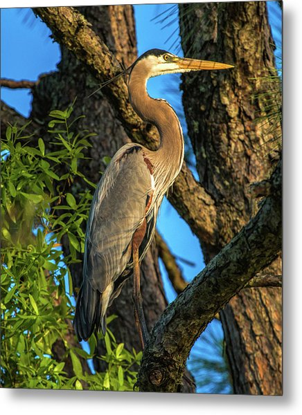 Heron In The Pine Tree Metal Print