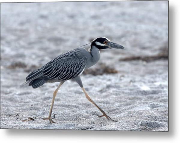 Yellow-crowned Night Heron On A Mission Metal Print