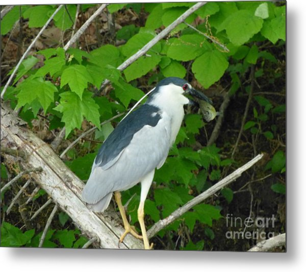 Heron With Dinner Metal Print