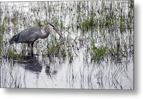Heron With Fish Metal Print