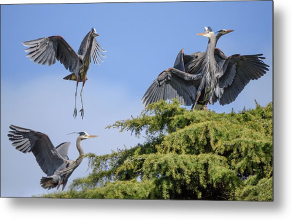 Herons Mating Dance Metal Print
