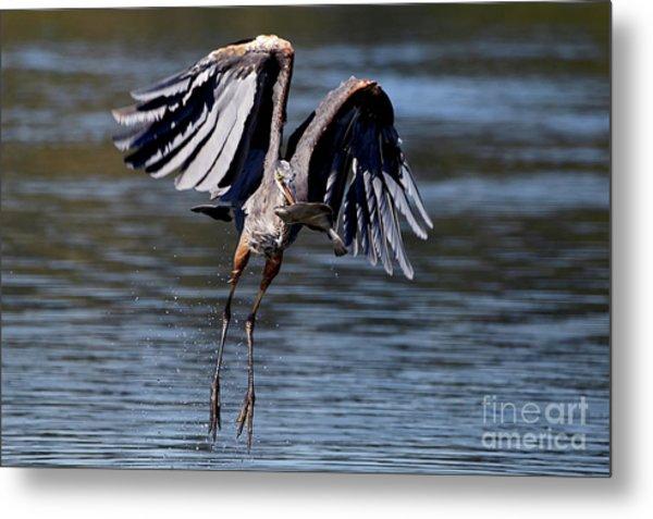 Great Blue Heron In Flight With Fish Metal Print