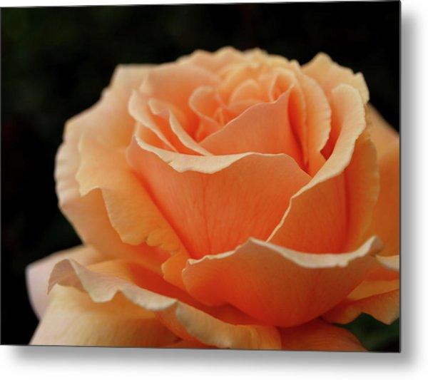 Hever Castle Peach Rose Metal Print