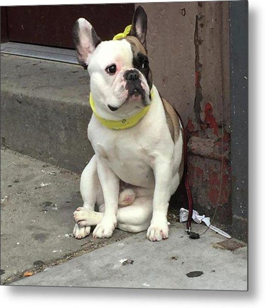 Hey, #bulldog! #harlem #nycdogs #nyclife Metal Print by Gina Callaghan
