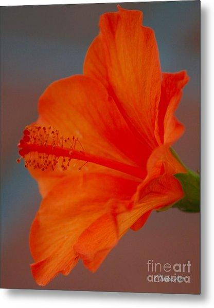 Hot Orange Hibiscus Metal Print
