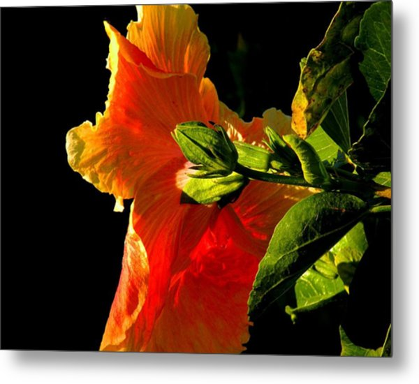 Hibiscus In The Light Metal Print by Rosalie Scanlon