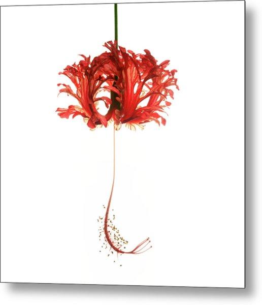 Hibiscus Schizopetalus On White Metal Print