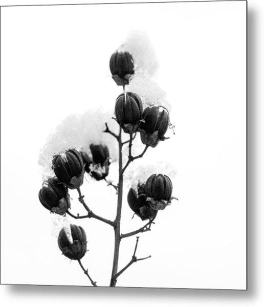 Hickory Tree In Winter Metal Print