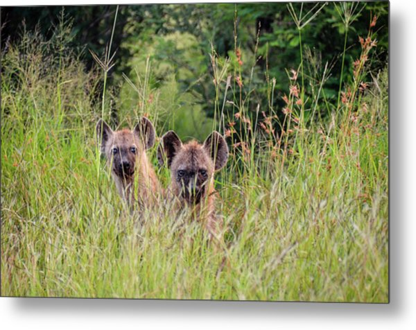 Hide-n-seek Hyenas Metal Print