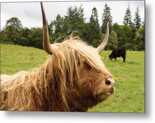 Metal Print featuring the photograph Highland Coo by Christi Kraft