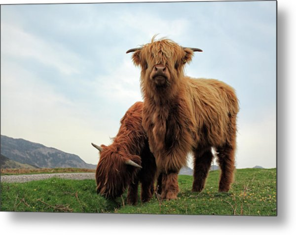 Highland Cow Calves Metal Print