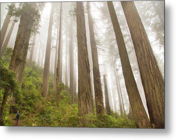 Hike Through The Redwoods Metal Print