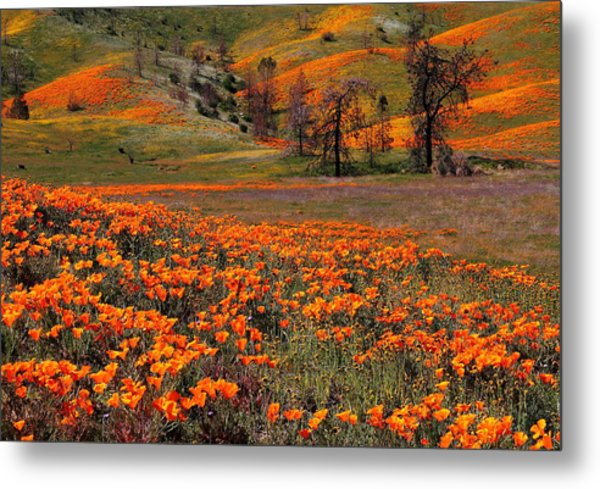 Hills Of Orange Near Antelope Valley Poppy Preserve In California Metal Print