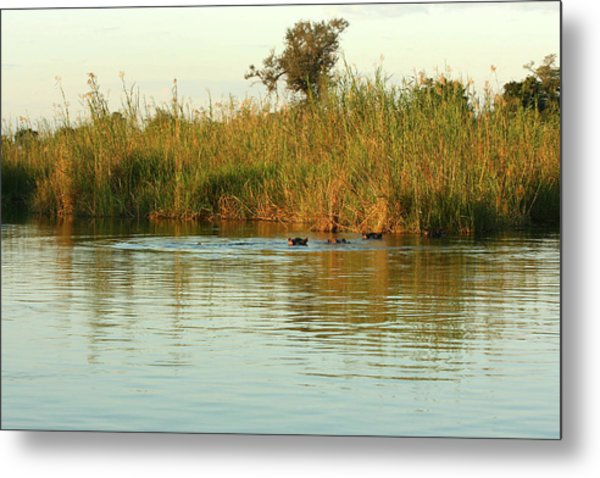 Hippos, South Africa Metal Print