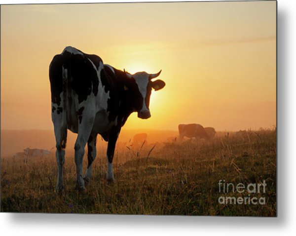 Holstein Friesian Cow Metal Print