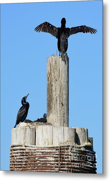 Home Sweet Home Brandt's Cormorant Style Metal Print