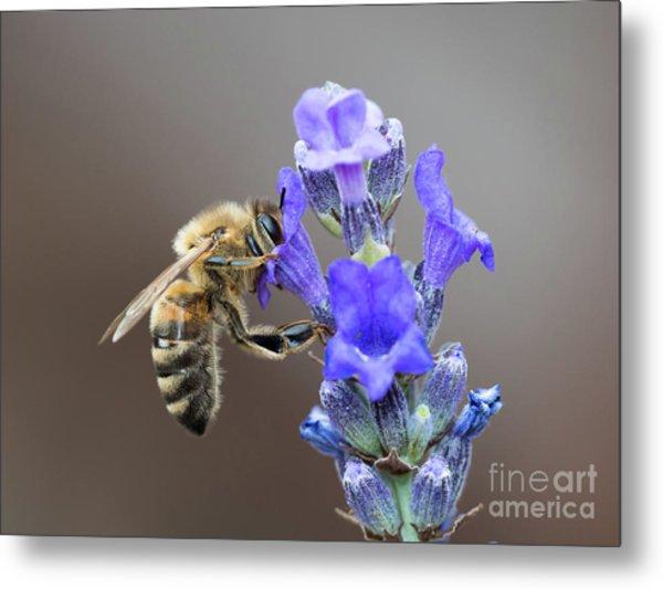 Honey Bee - Apis Mellifera - Feeding On Lavender Metal Print