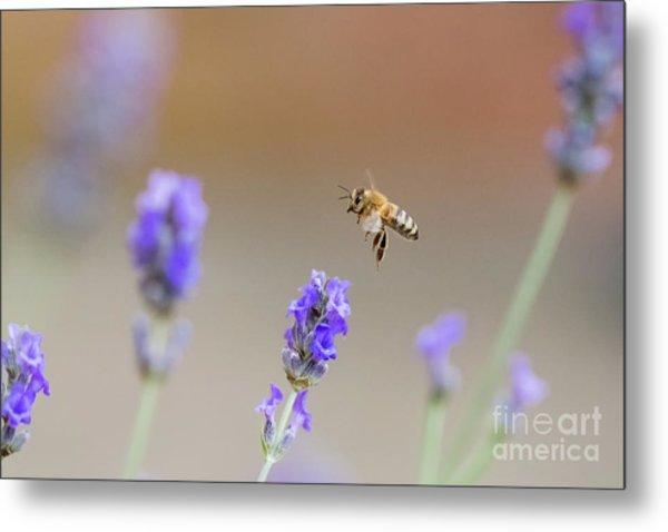 Honey Bee - Apis Mellifera - Flying Through Lavender In Flower Metal Print