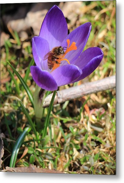 Honey Bee On Crocus  Metal Print