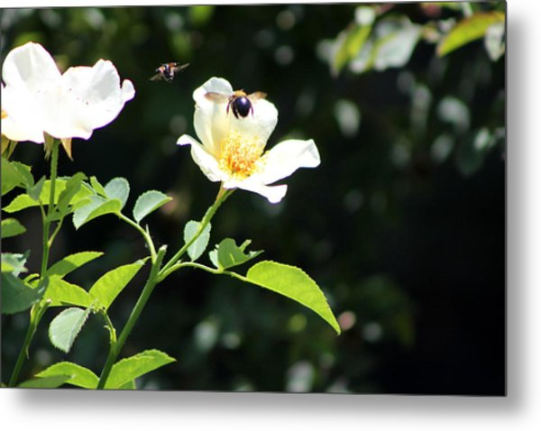 Honey Bees In Flight Over White Rose Metal Print