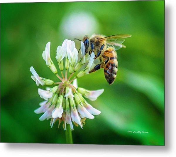 Honeybee On White Clover..... Metal Print