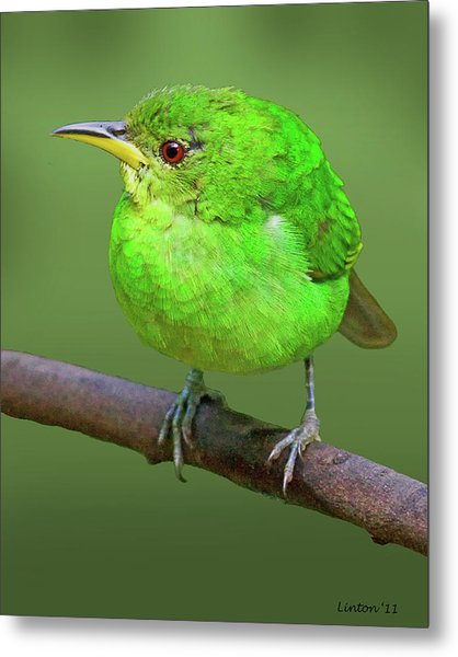 Honeycreeper Metal Print