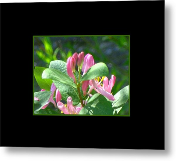 Honeysuckle Pink Photograph Metal Print by Gretchen Wrede