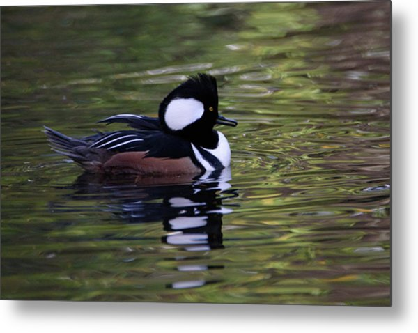 Hooded Merganser Duck Metal Print
