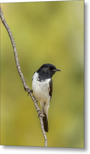 Hooded Robin Metal Print