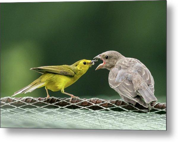 Hooded Warbler Feeding Cowbird Metal Print