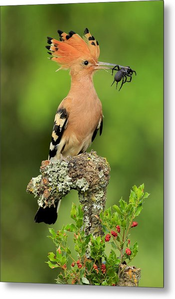 Hoopoe With Spider Metal Print by Andres Miguel Dominguez