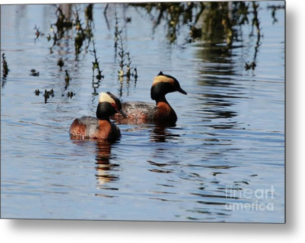 Horned Grebe Couple Metal Print