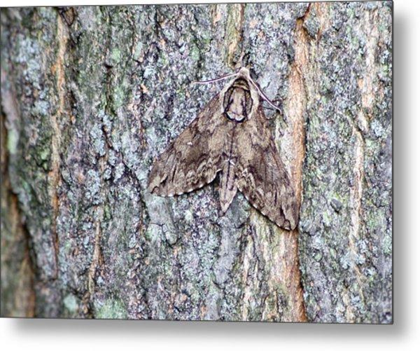 Hornworm Moth II Metal Print