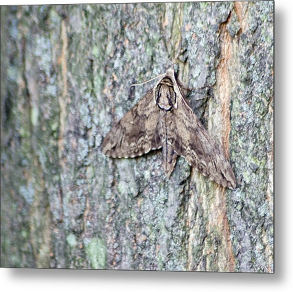 Metal Print featuring the photograph Hornworm Moth by Wade Clark