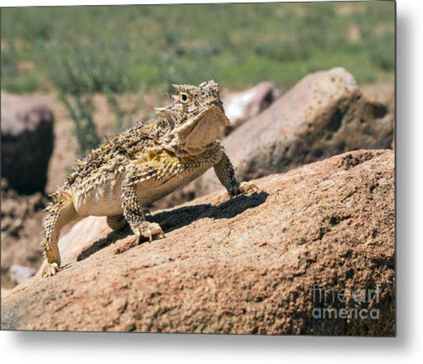 Horny Toad Metal Print