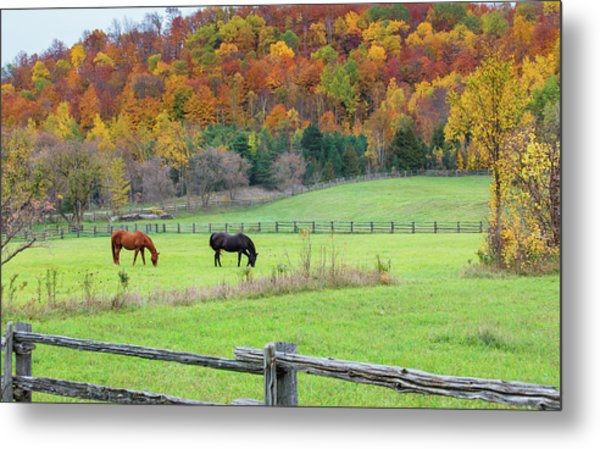 Horses Contentedly Grazing In Fall Pasture Metal Print
