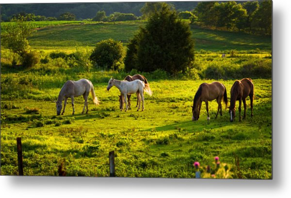 Horses Grazing In Evening Light Metal Print