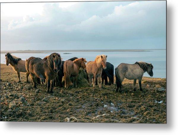 Horses In Iceland Metal Print