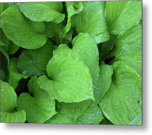Hostas After The Rain IIi Metal Print