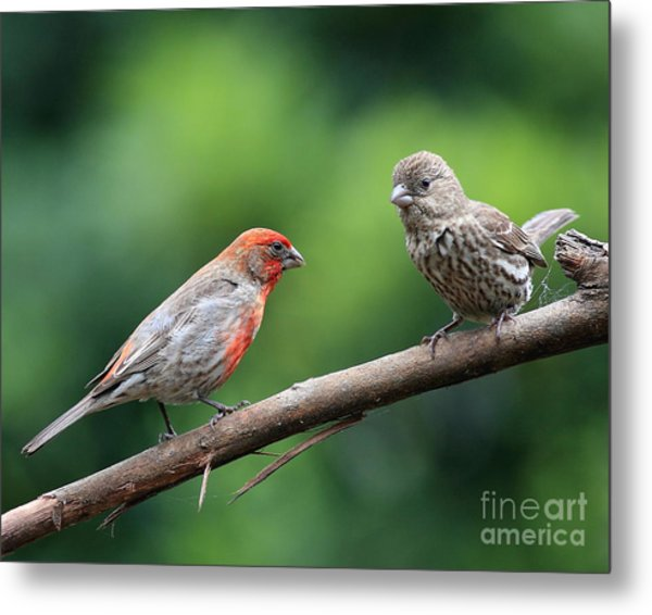 House Finch Courtship Metal Print by Wingsdomain Art and Photography
