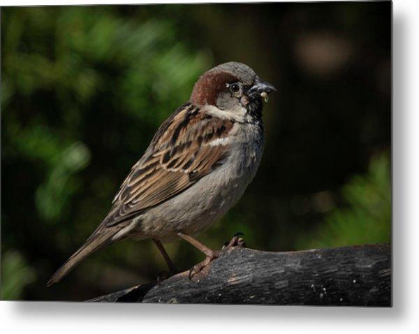 House Sparrow 2 Metal Print