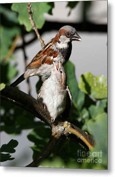 Metal Print featuring the photograph House Sparrow - Feed Me Daddy by Sue Harper