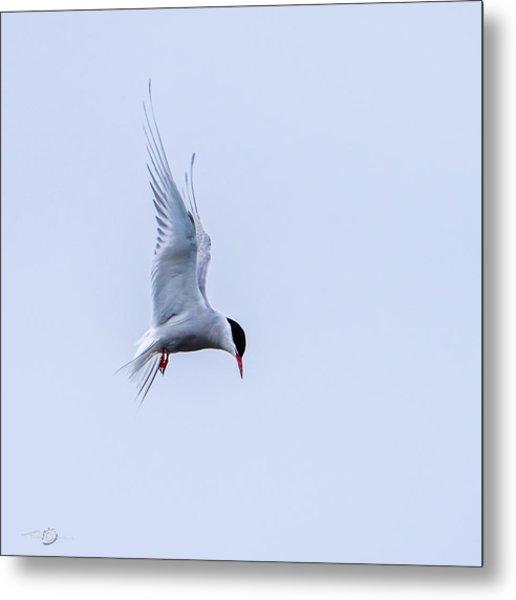 Hovering Arctic Tern Metal Print