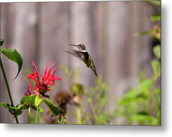 Humming Bird Hovering Metal Print