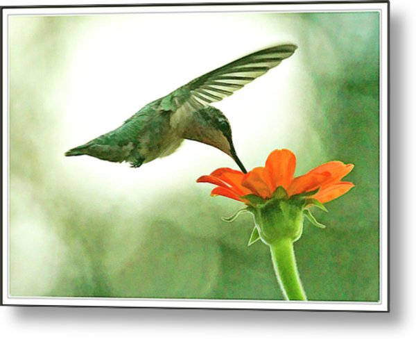 Female Hummingbird And Zinnia In Morning Light Metal Print