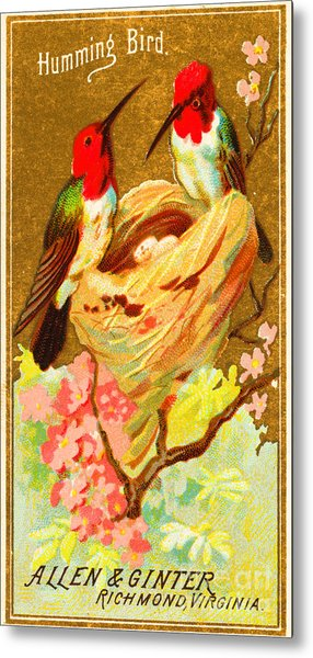 Humming Bird Victorian Tobacco Card By Allen And Ginter Metal Print