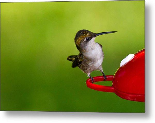 Hummingbird 5 Metal Print by Edward Myers