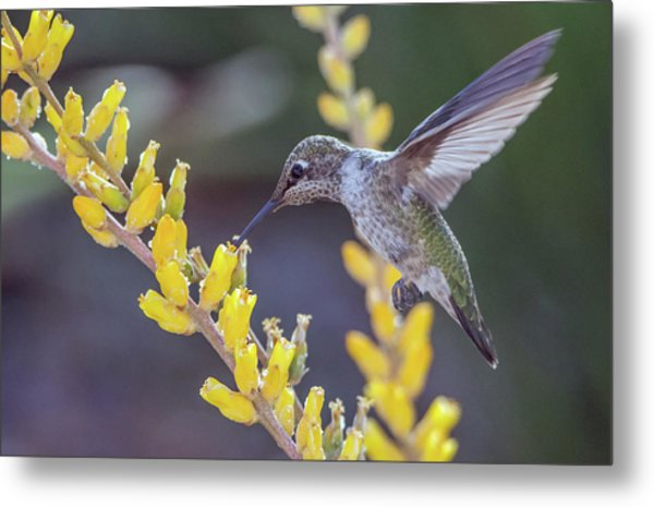 Hummingbird 6750-041818-1cr Metal Print