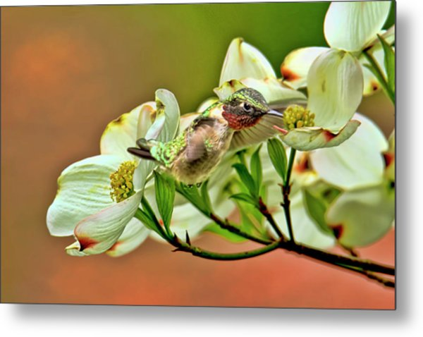 Hummingbird And Dogwood Blossoms Metal Print